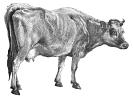 big_cow