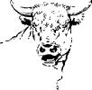bull_stare