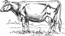 cow_sketched