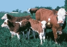 cows_and_calves