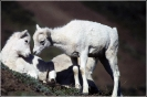 Dall_Sheep_Lambs