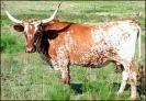Texas_Longhorn