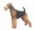 Airedale_Terrier_2