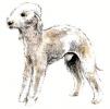 Bedlington_Terrier