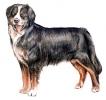 Bernese_Mountain_Dog