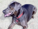 Blue_Lacy_Game_Dog