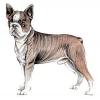 Boston_Terrier
