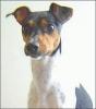 Brazilian_terrier