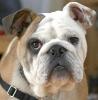 Bulldog_1