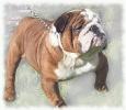 bulldog_4