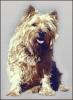 Cairn_Terrier_2