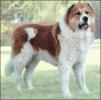 Caucasian_Shepherd_Dog