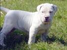 Dogo_puppy