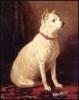 English_White_Terrier