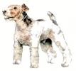 Fox_Terrier