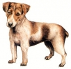 Jack_Russell