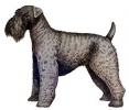 Kerry_Blue_Terrier
