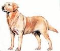 Labrador_Retriever