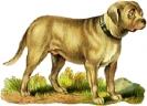 mastiff_1