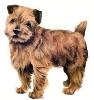 Norfolk_Terrier