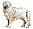 Pyrenean_Mountain_Dog