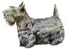 Scotch_Terrier