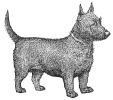 terrier_(scottish)