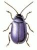 Alder_Leaf_Beetle