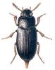 Alphitobius