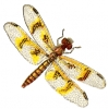 amber_wing_dragonfly_female