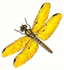 amber_wing_male