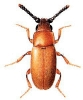Antherophagus