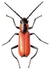 Anthocomus