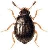 Aspidiphorus