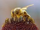 Bee_Collecting_Pollen