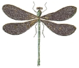 black_wing_dragonfly