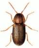 Bread_Beetle