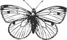 cabbage_moth_BW