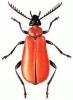 Cardinal_Beetle