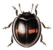 Chilocorus
