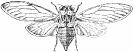 Cicada_orni