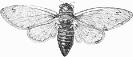 Cicada_septendecim