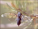 Cicada_with_wings_spread