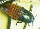 Cockroach_(Madagascar_Hissing)