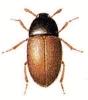 Colonidae