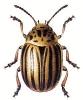 Colorado_Beetle