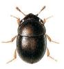 Cybocephalus