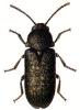 Death-watch_Beetle