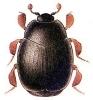 Dendrophilus