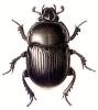 Dor_Beetle